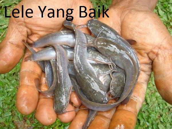 ciri ciri ikan lele tidak sehat
