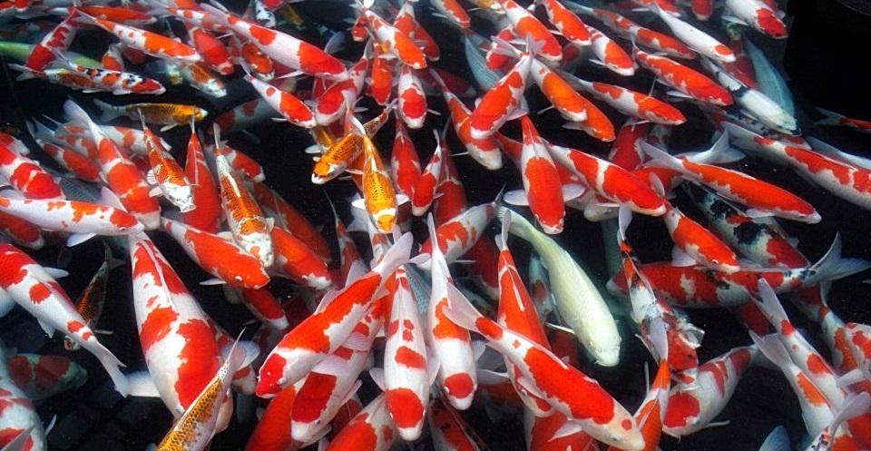 Budidaya Ikan Mas Kolam Terpal