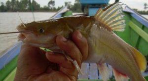 nama lain ikan baung