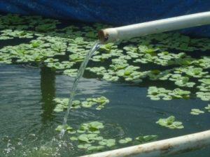 cara mengatasi kolam terpal lele yang berbusa