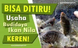 BISA DITIRU! Usaha budidaya Ikan Nila Ini Keren!