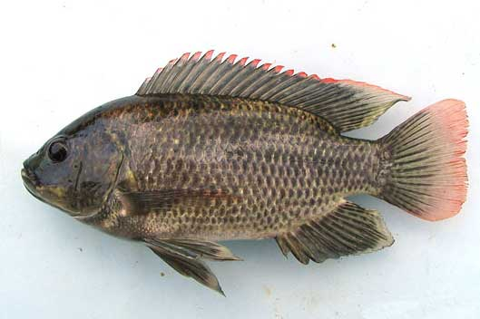 Ikan Nila jenis gift