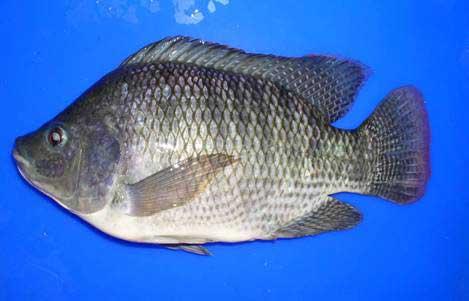 Ikan nila jenis best