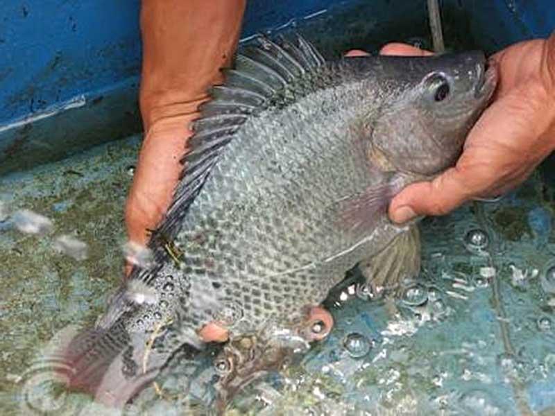 Ikan nila jenis gesit