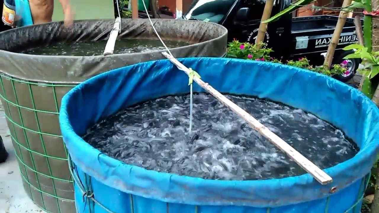 ternak ikan nila kolam terpal