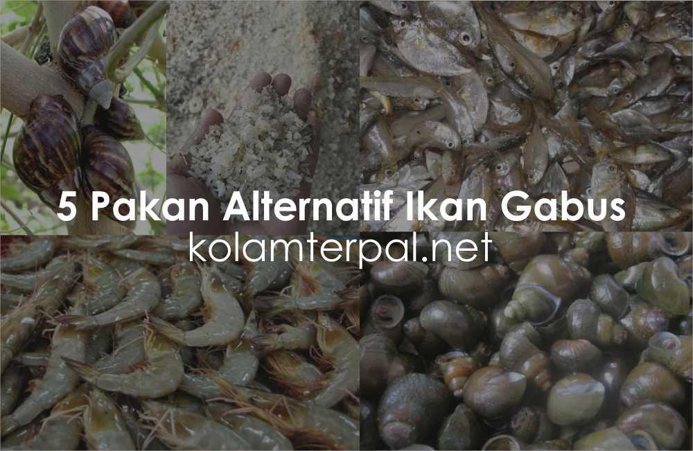 5 Alternatif Pakan Ikan Gabus