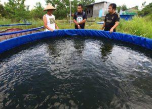 Budidaya ikan gabus menggunakan kolam terpal bulat