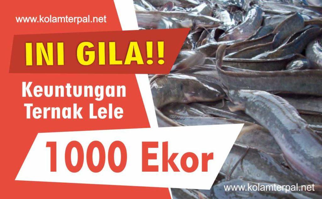 Ini Keuntungan Ternak Lele 1000 Ekor
