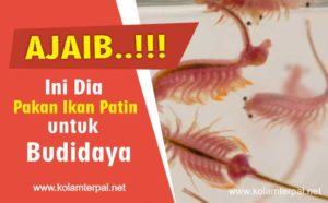 Makanan alami kesukaan ikan patin agar cepat besar
