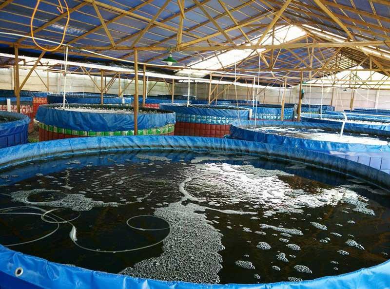 bisnis udang vaname di kolam terpal