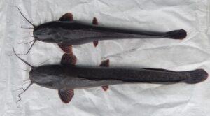 Morfologi Ikan Lele Mutiara