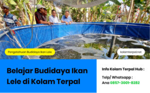 Belajar Budidaya Ikan Lele di Kolam Terpal